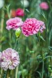 Rosafarbene Pfingstroseblumen Stockbild