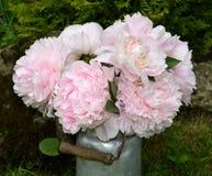 Rosafarbene Pfingstrosen im Garten Stockfotos