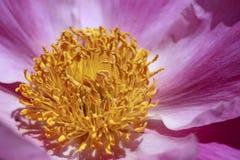 Rosafarbene Pfingstrosen, Paeonia lactiflora stockbilder