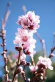 Rosafarbene Pfirsich-Blüten Stockfotografie