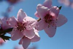 Rosafarbene Pfirsich-Blüten Stockbilder