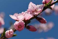 Rosafarbene Pfirsich-Blüten Stockfoto