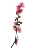 Rosafarbene Pfirsichblüte Lizenzfreies Stockbild