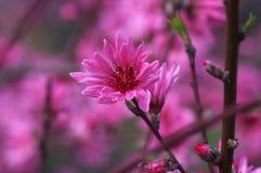 Rosafarbene Pflaume-Blüte stockfotos