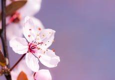 Rosafarbene Pflaume-Blüte Stockbilder