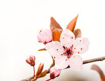 Rosafarbene Pflaume-Blüte Lizenzfreie Stockfotos