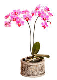 Rosafarbene Phalaenopsisorchidee auf weißem Hintergrund Lizenzfreie Stockfotografie
