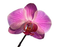Rosafarbene Phalaenopsisorchideeblume stockfoto