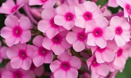 Rosafarbene Phloxblumen Stockfoto