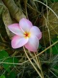 Rosafarbene Plumeria-Blume Stockfotografie