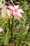 Rosafarbene Plumeriablumen Stockbilder