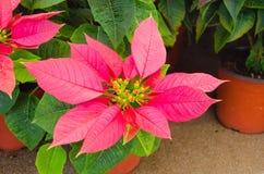 Rosafarbene Poinsettia lizenzfreie stockfotografie