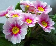 Rosafarbene Primel-Blumen Stockfoto
