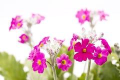 Rosafarbene Primulablumen Stockfoto