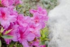 Rosafarbene Rhododendronblumen Lizenzfreies Stockfoto