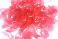 Rosafarbene rosafarbene Blumenblätter Lizenzfreies Stockfoto