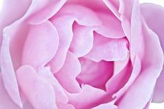 Rosafarbene Rose Stockbild
