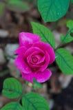 Rosafarbene Rose Lizenzfreies Stockbild
