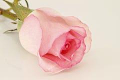 Rosafarbene Rose Stockbilder