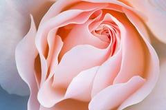 Rosafarbene Rose Stockfotos
