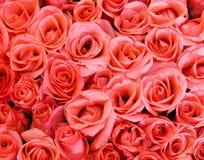Rosafarbene Rose Lizenzfreie Stockfotografie