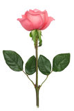 Rosafarbene Rose Stockfotografie
