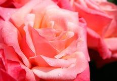 Rosafarbene Rose Lizenzfreies Stockfoto