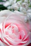 Rosafarbene Rose, Abschluss oben Stockfoto