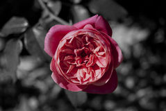 Rosafarbene Rose auf B&W Hintergrund Stockbild
