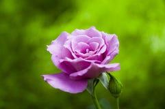 Rosafarbene Rose an einem Frühlingstag Stockbilder