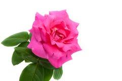 Rosafarbene Rose getrennt Stockbild