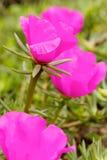 Rosafarbene Rose im Garten Lizenzfreie Stockbilder