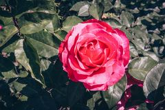 Rosafarbene Rose im Garten Stockfotografie