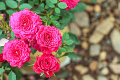Rosafarbene Rose im Garten Lizenzfreie Stockfotografie