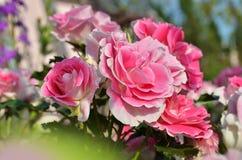 Rosafarbene Rose im Garten Stockbilder