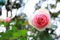 Rosafarbene Rose im Garten Lizenzfreie Stockfotos