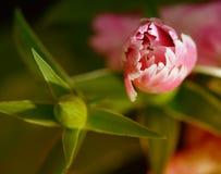 Rosafarbene Rose, Knospe (jpg+eps) Stockbild