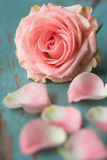 Rosafarbene Rose mit den Blumenblättern Lizenzfreies Stockbild
