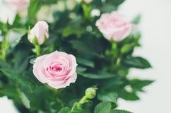 Rosafarbene Roseblumen Stockbild