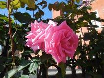 Rosafarbene Rosen stockfoto