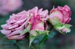 Rosafarbene Rosen Lizenzfreies Stockfoto