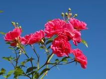 Rosafarbene Rosen Stockbild
