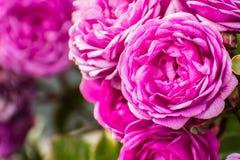 Rosafarbene Rosen lizenzfreie stockfotografie