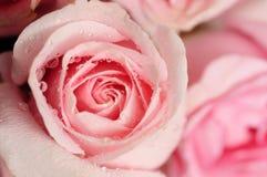 Rosafarbene Rosen Stockfotografie