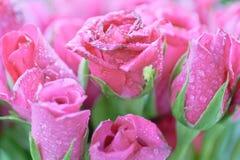 Rosafarbene Rosen Stockfotos