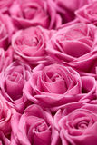 Rosafarbene Rosen. Stockbilder