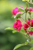 Rosafarbene Rosen auf einem Busch Lizenzfreie Stockfotografie