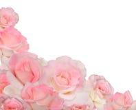 Rosafarbene Rosen auf Weiß Stockfoto