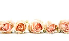 Rosafarbene Rosen auf Weiß Lizenzfreies Stockbild