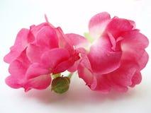 Rosafarbene Rosen auf weißem Hintergrund Lizenzfreies Stockfoto